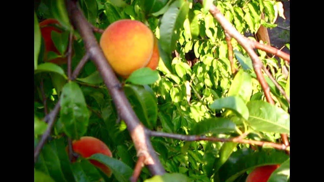 О созревании персиков, когда сезон в краснодарском крае, крыму, абхазии