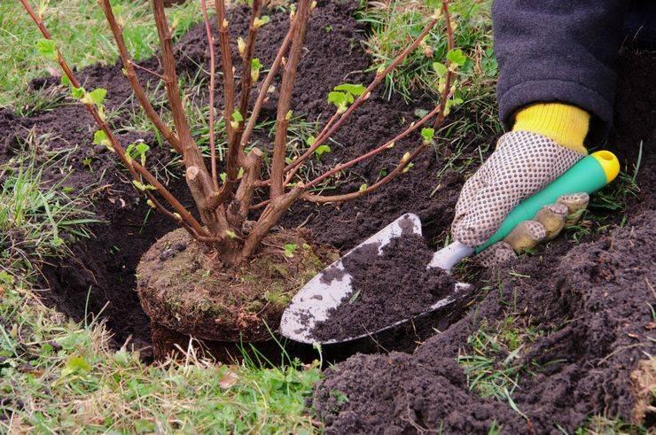 Как посадить куст?