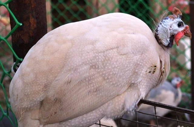 Цесарка: что за птица и как её содержать