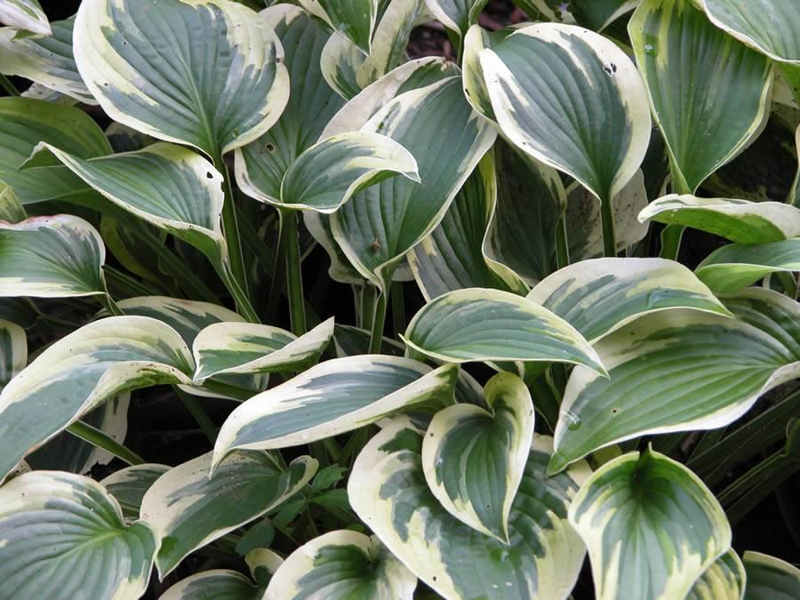 О хосте фрэнсис вильямс (frances williams): описание, агротехника выращивания