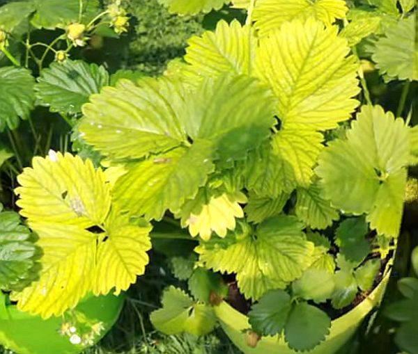 Причины, лечение и симптомы с фото хлороза у различных растений