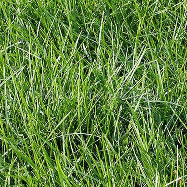 О траве райграс пастбищный: что за растение, описание, посадка и уход