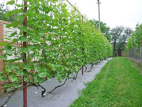Как подвязать виноград на шпалеру