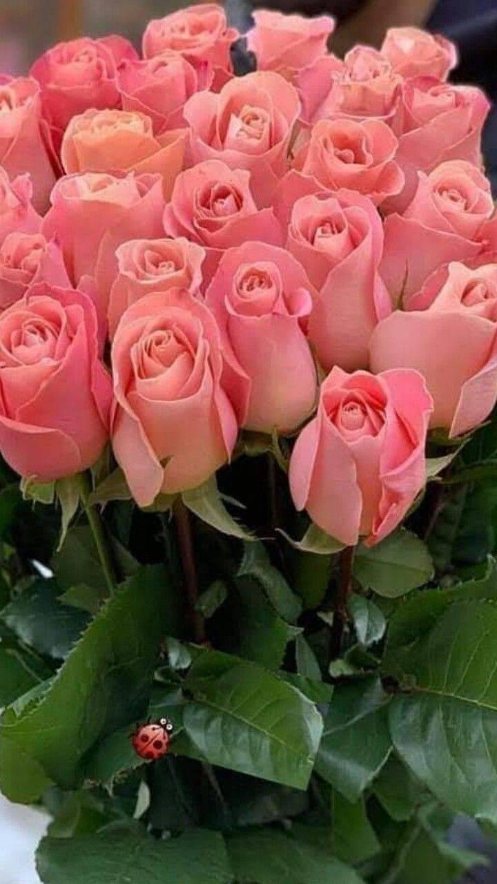 О самых популярных и красивых розах: описание и характеристики шикарных сортов