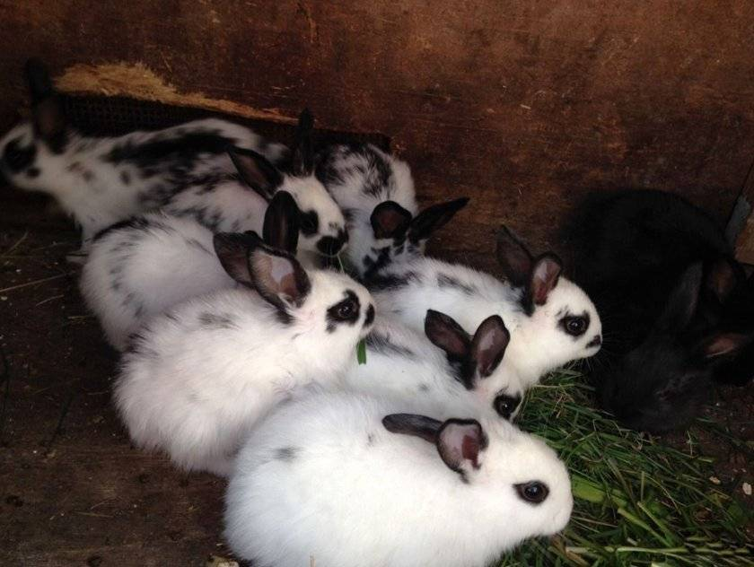 Кролики бабочка: описание породы, продуктивные качества и способы выращивания