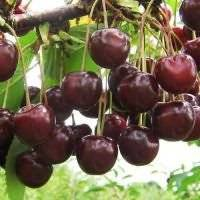 Зимостойкая черешня ревна: особенности выращивания