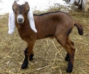 Молочные породы коз: описание и разведение