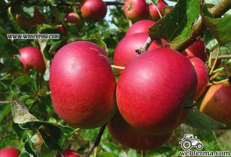 Яблоня услада — украшение сада