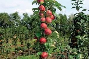 Садоводы рассказывают, почему не плодоносит яблоня и что делать?