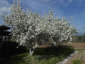 Адамово яблоко: лечебные свойства и противопоказания