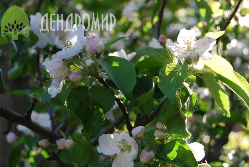 Самые распространенные болезни яблонь и их лечение