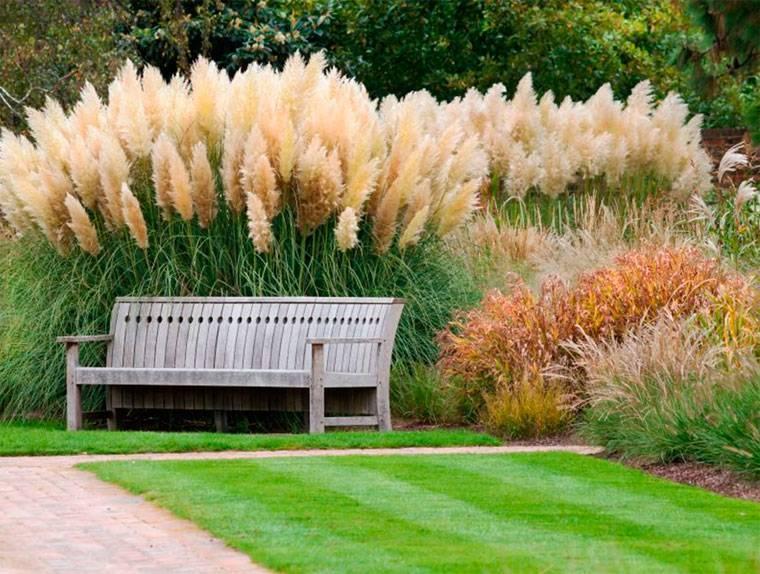 Кортадерия или пампасная трава для дачного участка посадка и уход