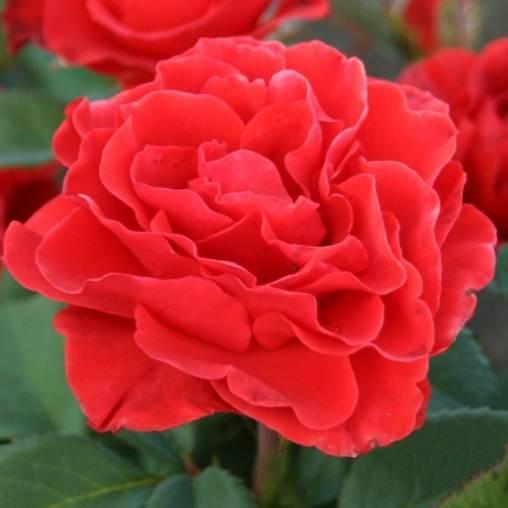 О розе Эль Торо (El Toro): описание и характеристики, посадка и уход