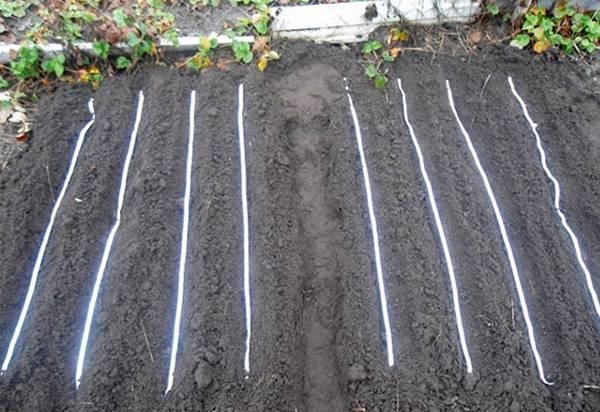 Как ускорить всхожесть семян моркови