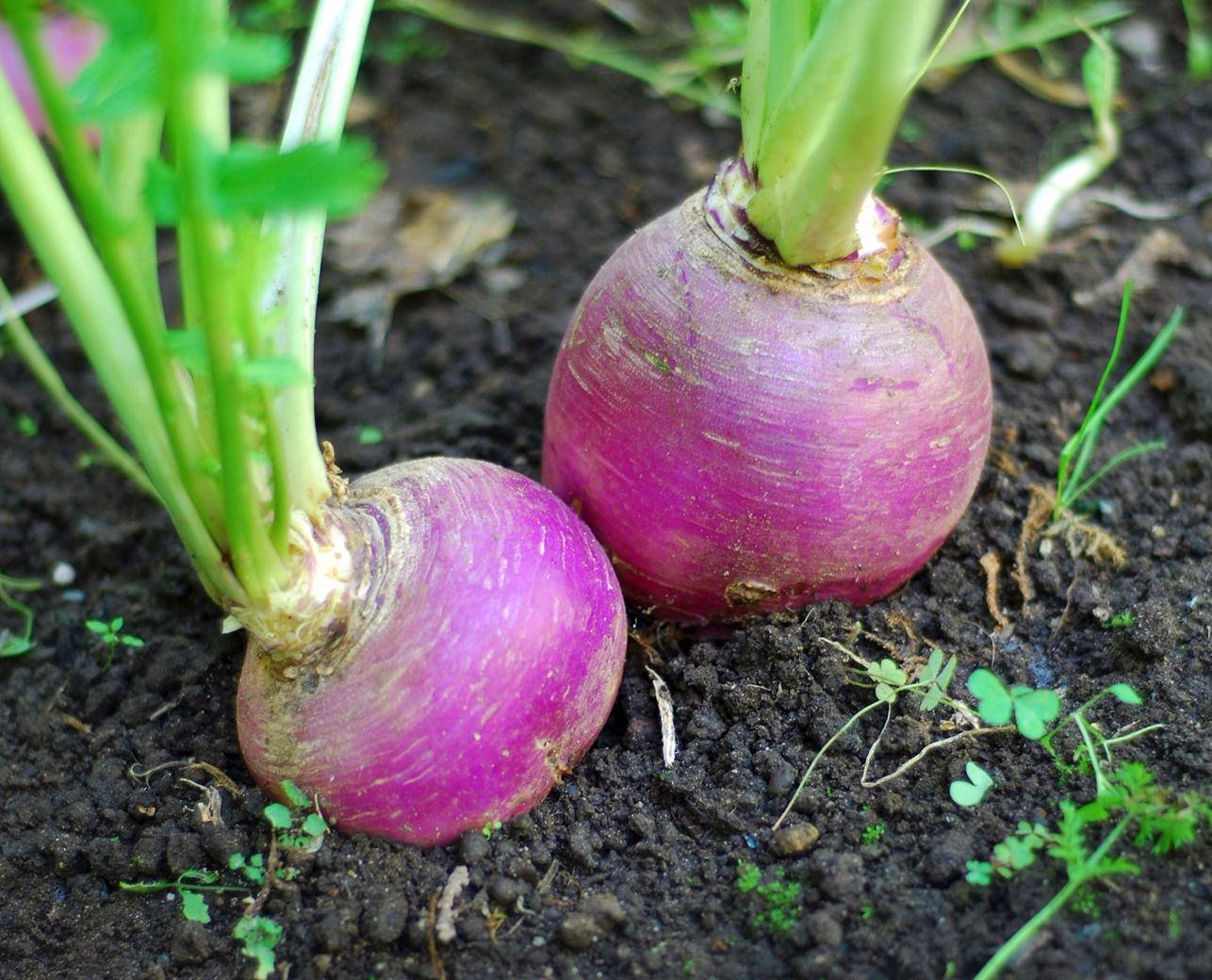 Редис в ячейках из-под яиц, посев и выращивание