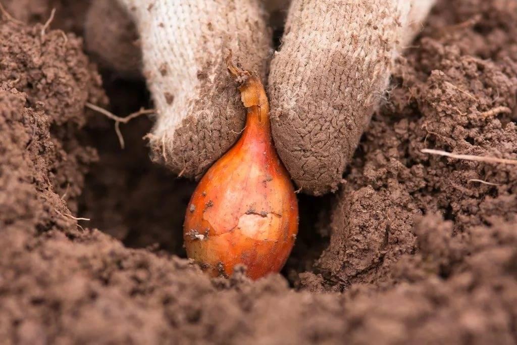 Посадка лука весной в открытый грунт и когда сажать лук севок