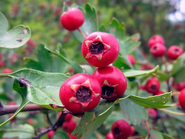 Посадка боярышника: особенности размножения и ухода в открытом грунте