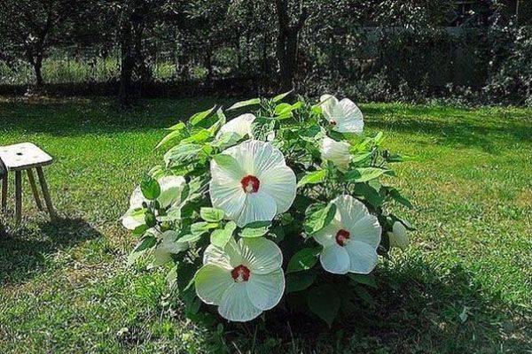 Гибискус травянистый (33 фото): выращивание садового гибискуса и тонкости ухода за ним в домашних условиях, посадка гибискуса семенами в открытом грунте