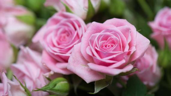 Почему розы вянут в горшке и в саду? что делать и как спасти растение?