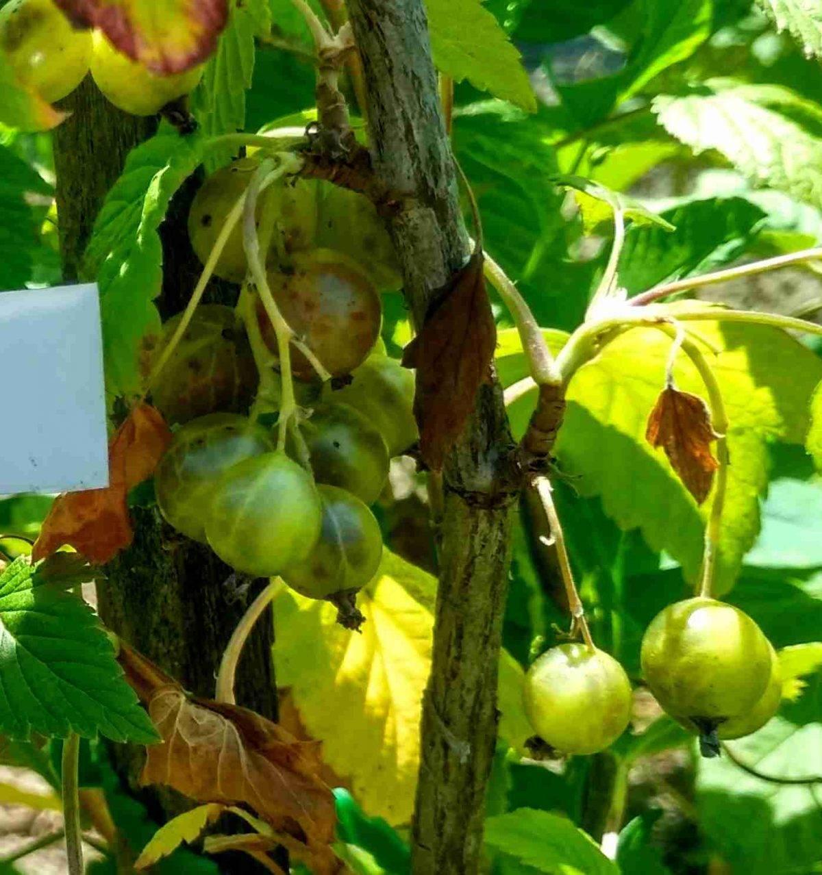 Зеленоплодная смородина – изумрудное ожерелье сада