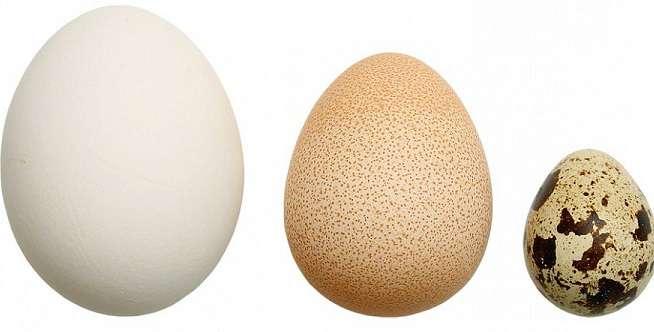 Яйца цесарки - польза и вред, как отличить яйцо цесарки от куриного яйца?