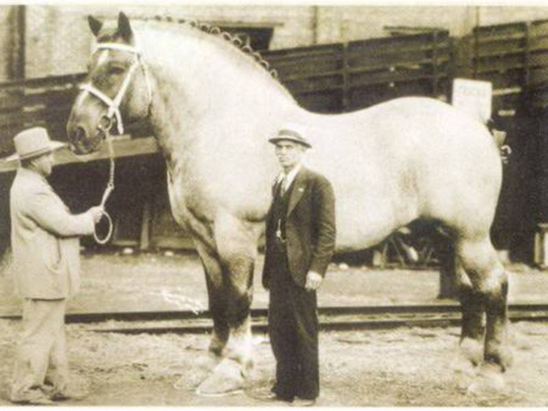Шайр — порода лошадей тяжеловесов