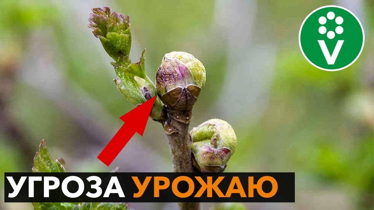 Как бороться с почковым клещом на кустах смородины