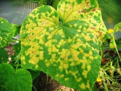 Чем обработать огурцы чтобы не желтели листья