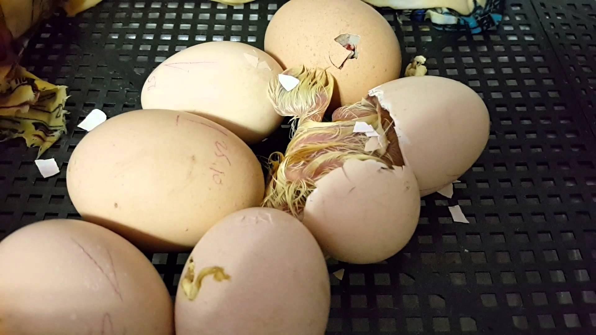 Как помочь цыплятам вылупиться из яйца