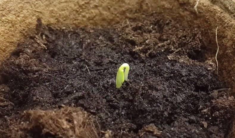 Через сколько дней всходят огурцы после посева