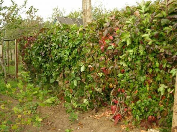 Девичий виноград — девственный плющ: выращивание, посадка и уход