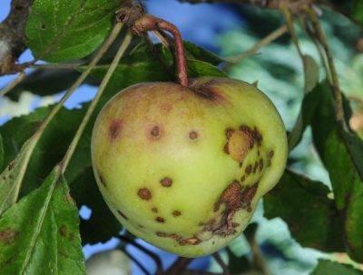 Болезни вишни и методы их лечения