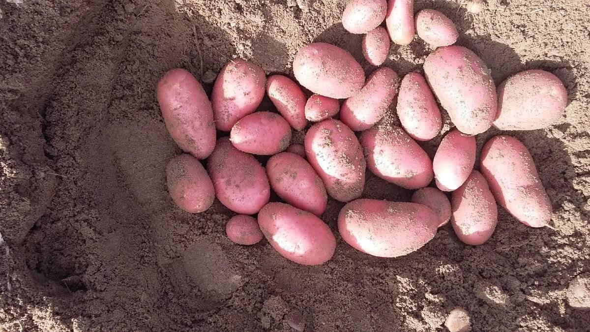 Картофель беллароза — сорт для любого региона страны
