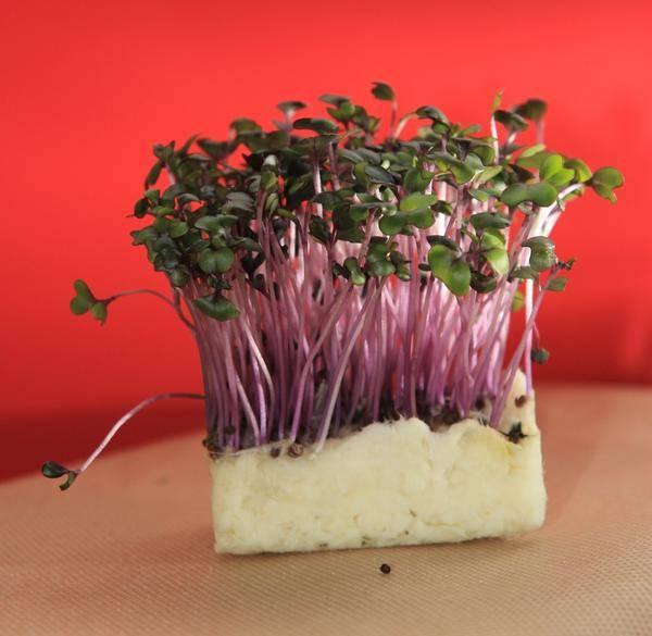 Выращивание кресс-салата на даче