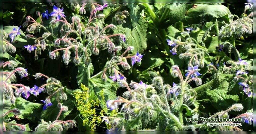 Бораго (огуречная трава): полезные свойства и противопоказания, фото, посадка и уход