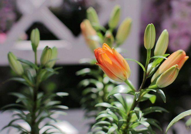 Чем и как правильно подкормить лилии перед цветением?
