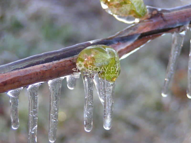 Почему весной не проснулся виноград