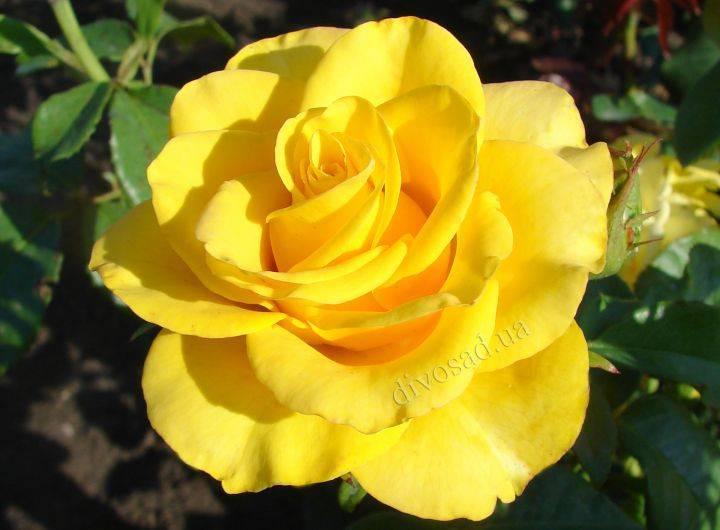 Розы керио посадка и уход