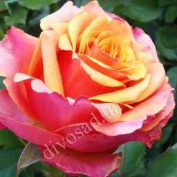 Как ухаживать за розой черри бренди