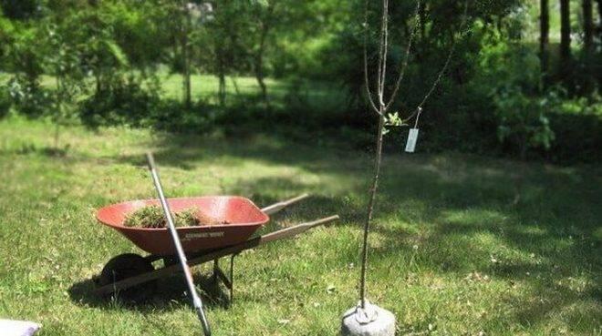 Советы, как подготовить яму для посадки яблони