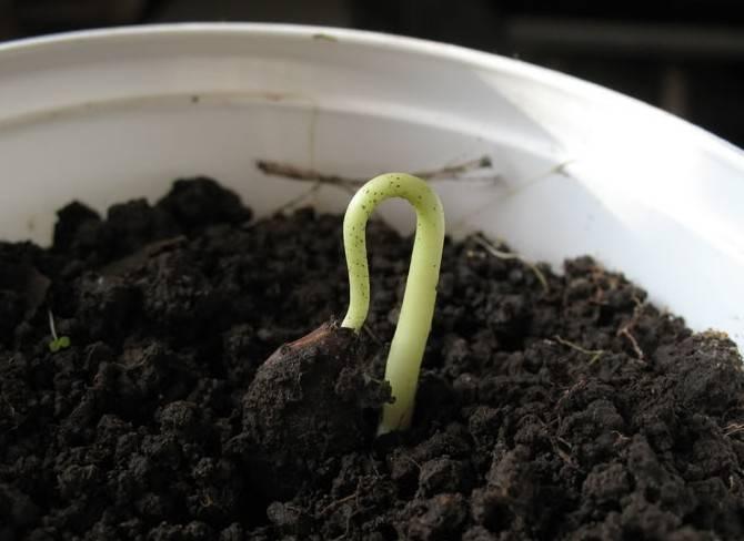 Когда и как начинает плодоносить хурма, выращенная из косточки?