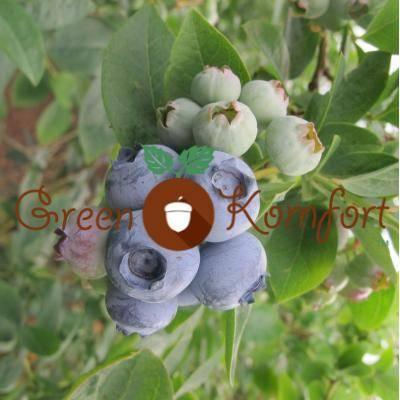 Высокорослая голубика − вкусное украшение вашего сада