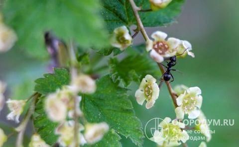 Действенные методы избавления от муравьев на смородине. как спасти смородину от муравьёв