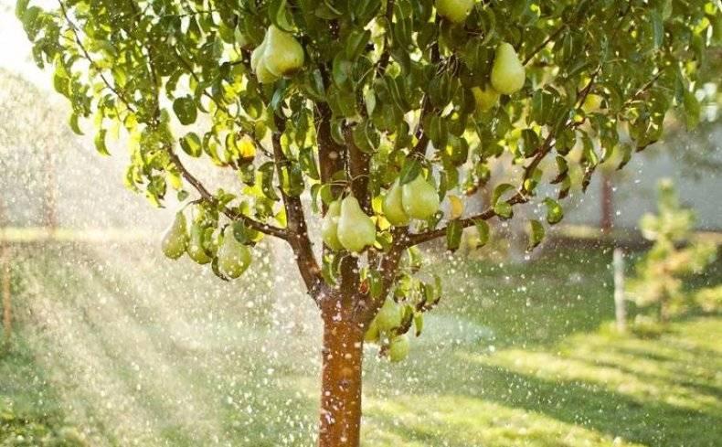 Лучшие сорта груш для каждой климатической зоны рф