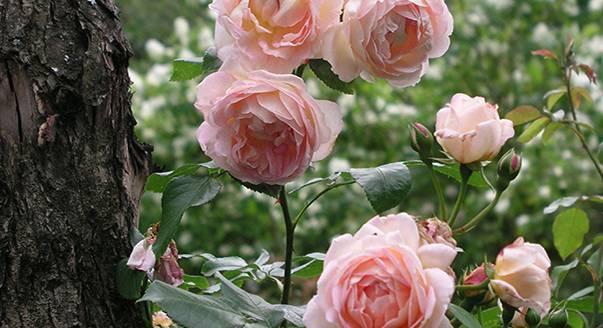 Можно ли в марте поливать розы. как правильно поливать розы. как поливать розы летом. частота полива в зависимости от типа почвы, погодных условий, возраста куста