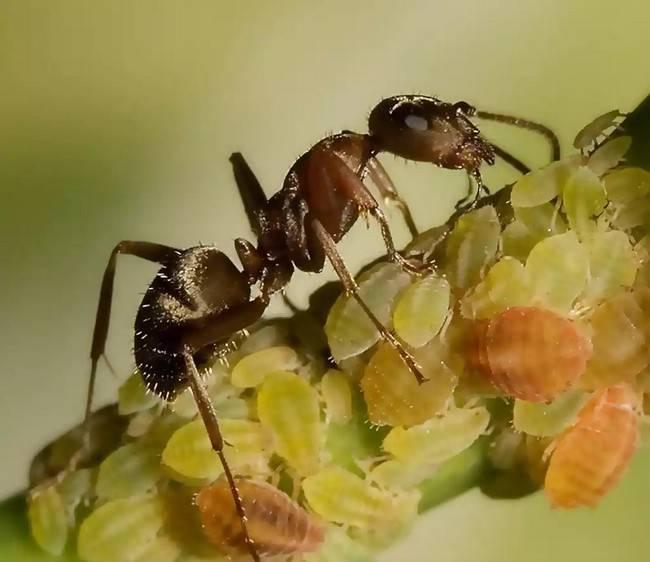 Как избавиться от муравьев на пионах?