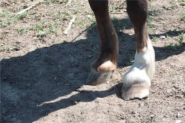 Копыта лошади, уход за ними и ковка, копыто состоит из, копытный рог форма копыт, признаки здорового копыта, уход за копытами, подковывание снашивание работе твердому грунту, постановка ног ходе лошади, содержание лошади