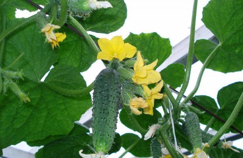 Выращивание огурцов на подоконнике - неприхотливые сорта и особенности ухода
