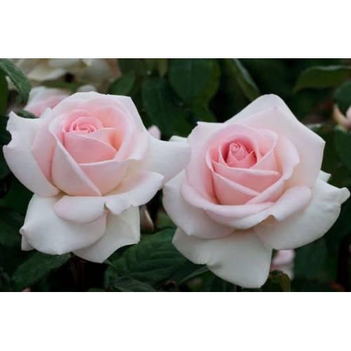О розе ingrid bergman: описание и характеристики, уход за чайно гибридной розой