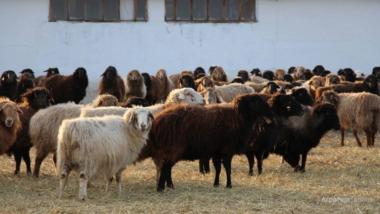 Эдильбаевская порода овец: особенности, содержание и разведение